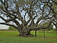 The Big Tree - live oak (judy_n) Tags: trees usa texas blueribbonwinner aplusphoto ysplix incrediblenature flickrelite overtheexcellence