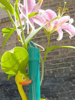 Ducky daylily