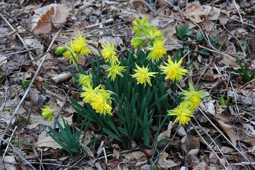 """Daffodil """"Rip van Winkle"""""""