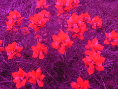 flowers (danmachold) Tags: flower digital lumix purple indian panasonic filter wildflower paintbrush fz30 filtered diyfilter lumixfz30 filteredlens