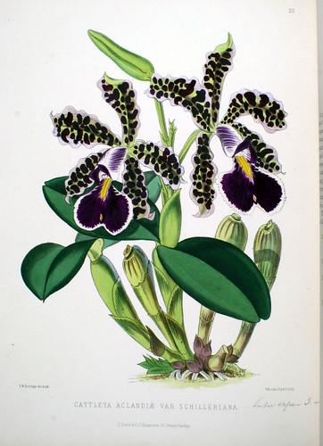 Cattleya aclandiae var. schilleriana