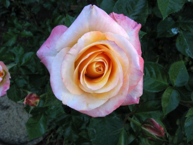 roses 4-27 004