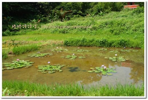 20080503桐花_043