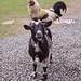 Nanny goat has a passenger