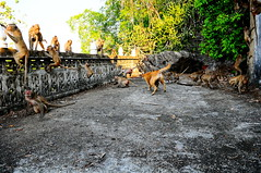 ,,  Rumble in the Jungle ,, (Jon in Thailand) Tags: mama monkeys dog primates action jungle spirithouse cementdeck battle rumbleinthejungle k9 nikon nikkor d300 175528 tails wildlife littledoglaughedstories