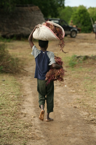 boy carrying dried seaweed