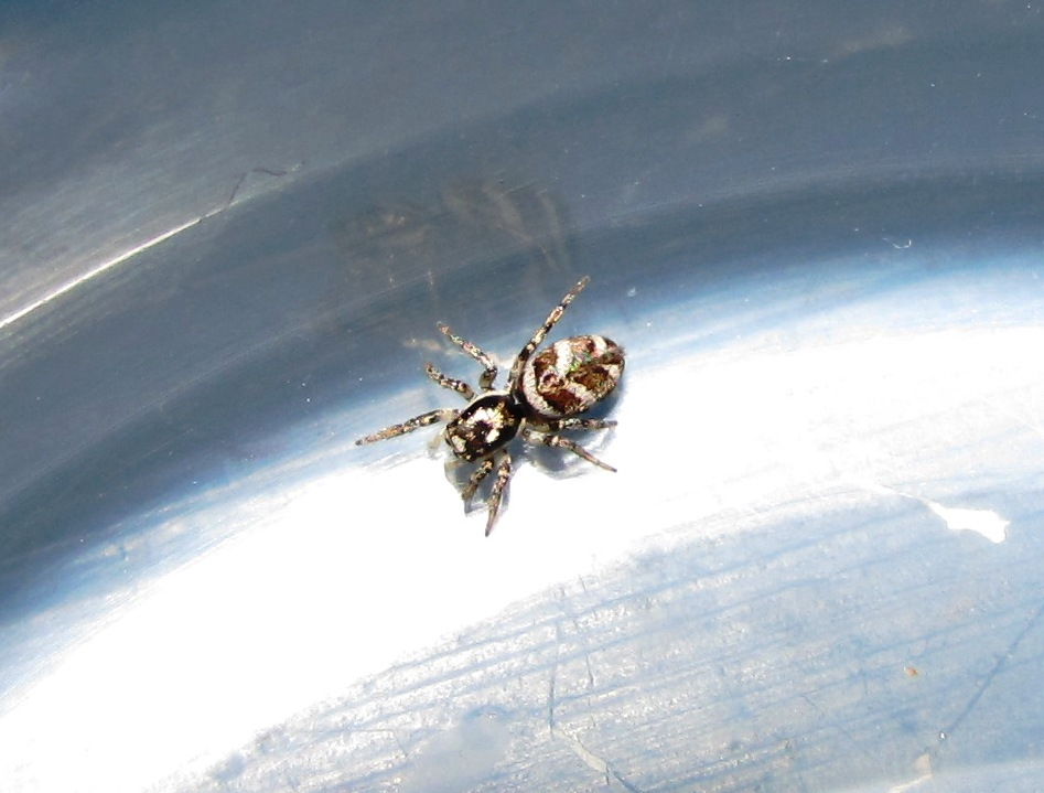Jumping Spider Identification   Arachnoboards