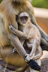 India (David Davis Photoproductions) Tags: travel india tree cute nature animal forest asian mammal asia wildlife young ape monkeys primate presbytisentellus ranthamborenationalpark commonlangurmonkey