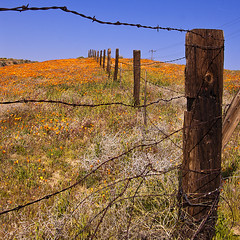 close enough (Maureen Bond) Tags: ca wood fence wire colorful post hill rusty sunny sharp crispy wires highdesert poppies grasses barbed maureenbond fencefriday