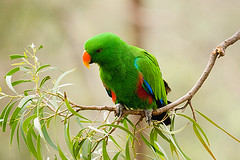 Male Eclectus Parrot (mikebrown3064) Tags: male bird animals gardens photography zoo gallery fine parrot australia melbourne victoria eclectus parkville the zoological of bachspicsgallery