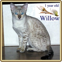 Seal Lynx Point Spotted Snow Bengal (Junglelure) Tags: white snow beautiful beauty animal female silver kitten feline florida blueeyes champion kittens spots willow leopard precious mink registered felines spotted savannah bengals incredible bengal lynx snowleopard rosettes serval savannahs tica leopards snows breeder snowleopards servals snowbengal seallynxpoint rosetted animaladdiction seallynx westcentralflorida toyger toygers bengalkittensforsale spottedsnow sealmink snowbengals asianspottedleopard spottedwhite naturesbabies naturesexquisite sealsepia savannahkittensforsale savannahkittenforsale junglelure