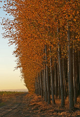 Warm sunset colors (walla2chick) Tags: trees usa tree golden poplar grove or umatilla 6803