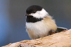Fluffy (mimicapecod) Tags: birds chickadee naturesfinest blueribbonwinner superbmasterpiece freenature stunningmoment
