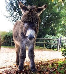 Curious Donkey (Coquine!) Tags: england nature forrest unitedkingdom natur donkey hampshire wald esel newforrest christianleyk