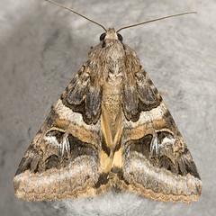Drasteria divergens 20070727_3998 (GORGEous nature) Tags: washington moth july lepidoptera skamaniaco gpnf noctuidae catocalinae wa drasteria biglavabed 2000ft drasteriadivergens mona8630 fr66 ©johndavis