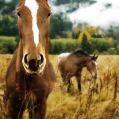 Horses (Deborah (polarcollision)) Tags: horse field topv111 fog closeup canon square nose eyes cloudy gaze muzzle naturesfinest xti platinumphoto superaplus aplusphoto aphotocontest30 xynw08wildlife