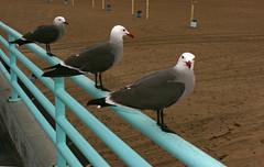 Sentry (Bhlubarber) Tags: california red bird beach three sand manhattan teal gull beak sentry davidniddrie lpbirds