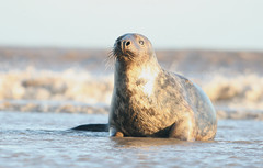 watchingyouwatchingme (the_boglin) Tags: seals donnanook
