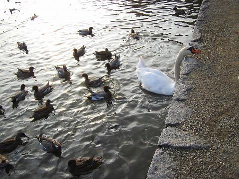 橿原神宮-白鳥