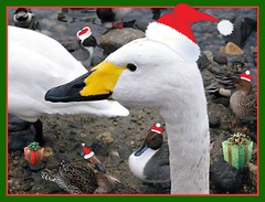 ~~Merry X'mas... quack~~ (Queenscents) Tags: xmas winter red white green yellow japan photo swan flickr riverside hats gift frame soe ih smrgsbord fpc goldenmix mywinners shieldofexcellence platinumphoto anawesomeshot impressedbeauty aplusphoto superbmasterpiece isawyoufirst diamondclassphotographer flickrdiamond ysplix theunforgettablepictures queenscents wonderfulworldmix macromix theperfectphotographer happinessconservancy goldstaraward