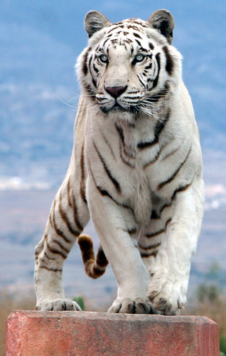 White tiger leaps on platform