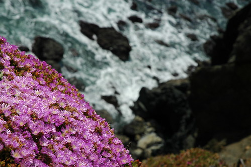Flowers at Point Bonita