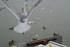 The Joy of Flight (jah32) Tags: seagulls lake ontario canada lakeontario waterfowl seabirds brids portdalhousie