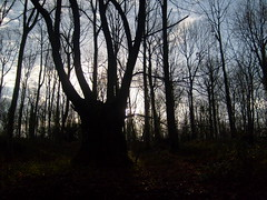 tree's (dandavie) Tags: trees winter tree silhouette forest dark woods branches trunk noleaves leighwoods
