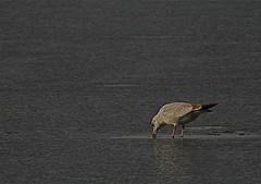 Jan062008_Clinton Lake Sun Jan 6, 2008_0660_2.JPG (GButterfly) Tags: ice oneaday sunday daily seagul 010608 manmadelake frozenfish clintonlake project365 fakelake jan6 6jan2008