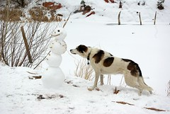 Abby: Terrified of Snowman (zyrcster) Tags: dog snow mutt snowman abby iluvmydog redrockcanyonopenspace photofaceoffwinner pfogold