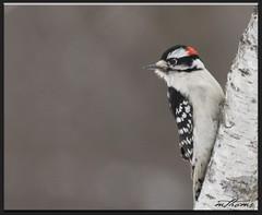 Downy (Kadacat (Marlene)) Tags: birds downywoodpecker picoidespubescens avian naturesfinest canon30d shirleysbay specanimal golddragon anawesomeshot diamondclassphotographer kadacat