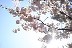 Summer Memory (F l e u r) Tags: pink summer sun tree nature japan blossom bluesky memory cherryblossom overexposed