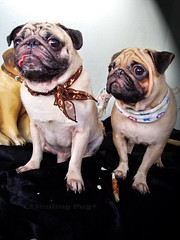 *SMILING PUG* - HAPPY VALENTINE'S DAY, FROM THE SWEETHEART PUG, MEL B & MEL C *-* (*SMILING PUG*) Tags: b dog bunny love smile smiling thailand happy holidays bangkok c smiles pug valentine mel valentines pugs buggy puggy k9 bambam    bugboy  bugbaby smilingpug