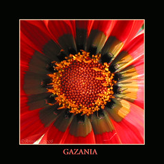 Gazania ( Annieta  Off / On) Tags: red espaa flower color colour macro art nature fleur yellow canon ilovenature spain kunst natuur vivid powershot gazania g2 fiori 2008 geel rood colori coolest breathtaking spanien allrightsreserved spanje bloem ilovephotography februari fevrier smrgsbord kleur costablanca powershotg2 canonpowershotg2 blueribbonwinner lamarina flowerotica annieta theworldthroughmyeyes thebiggestgroup kakadoo masterphotos golddragon beautifulcapture abigfave anawesomeshot 1on1colorful fabulousflowers diamondclassphotographer flickrdiamond citrit coolestphotographers themacrogroup theperfectphotographer dragongoldaward yourpreferredphoto floralfavorites dontusethisphotowithoutpermission usingthisphotowithoutpermissionisillegal