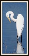 Great Egret (blmiers2) Tags: bird nature water birds geotagged photo nikon florida wildlife ave egret avian greategret egrets ardeidae ardeaalba blm18 blmiers2