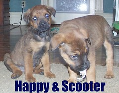 Happy &Scooter (muslovedogs) Tags: dogs puppy mastweiler zeusoffspring myladyoffspring