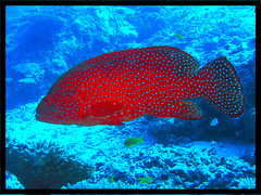 Grouper (damps) Tags: blue red sea fish male underwater spots maldives fins corals damp grouper top20fish damps top20fish20