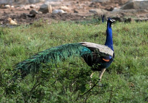 magnificient peacock bandipur 270408