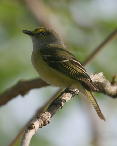 White-eyed Vireo - Take 2