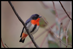 Mistletoebird, Campbell Park, 29..9.08a (Callocephalon Photography) Tags: bird woodland mistletoe campbellpark specanimal mywinners dicaeumhirundinaceum canberranaturepark mistletoebird mtainslienr