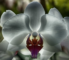 Mystical Orchid (MrBlueSky*) Tags: orchid flower petal plant horticulture garden nature london ngc aficionados pentax pentaxart pentaxlife pentaxawards pentaxistd mystical magic kewgardens princessofwalesconservatory