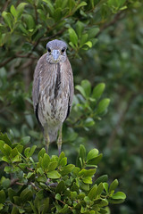 Yellow-crowned Night Heron (Greg Lavaty Photography) Tags: yellowcrownednightheron nyctanassaviolacea texas january south padreisland immature young mangrove bird nature wildlife wader heron nightheron