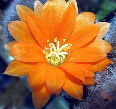 Sparkle (Mary Faith.) Tags: light orange flower macro art texture nature garden design petals desert bright dry hobby stamens sparkle collection bloom layers pollen thorns delicate sheen fragile spikes prickles crystalline orangeandgrey