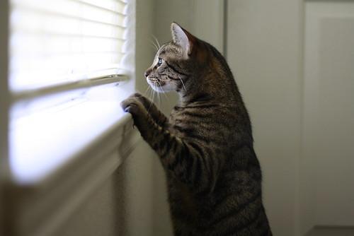 フリー画像| 動物写真| 哺乳類| ネコ科| 猫/ネコ| キジトラ| 覗く/見る|     フリー素材|