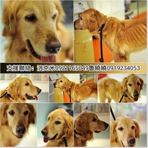 「支援助認養」桃園被人渣遺棄在山區只剩排骨的黃金獵犬小姐~健檢有心絲蟲~需要醫療資源助認養,謝謝您,20110527