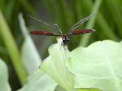 Dragonfly (ddsnet) Tags: insect dragonfly sony cybershot  odonata   cybershor hx100v