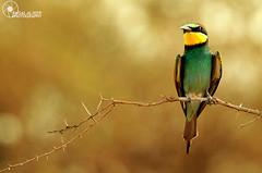 #EXPLORE49#   (Faisal Alzeer) Tags: green bird birds out lens fly nikon focus zoom arabia riyadh yello faisal ksa saudia         nikkor300mm    animalkingdomelite     fnz  d300s     alzeer  abonasser  300 300 muzahmia eurobian