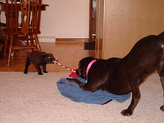 Chey and Dakota playing @ 8 weeks old