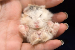 Snoozing little Pudding (jade_c) Tags: pet animal mammal rodent singapore pudding hamster roborovski  dwarfhamster  roborovskihamster phodopusroborovskii whitefaceroborovskihamster