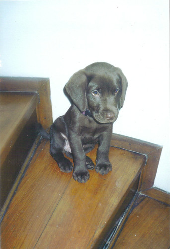 A chocolate lab puppy